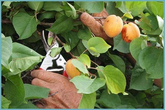 зачем обрезать абрикос