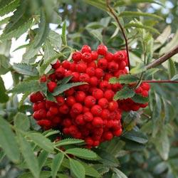 выращивание рябины красной