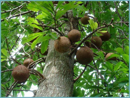 как растет бразильский орех