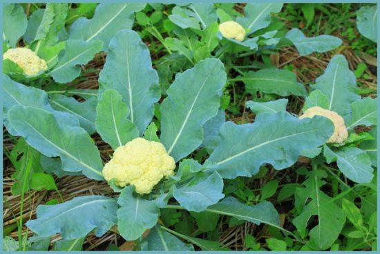полив цветной капусты