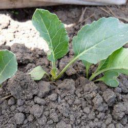 Как посадить рассаду капусты