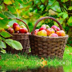 Сорта яблонь для Подмосковья