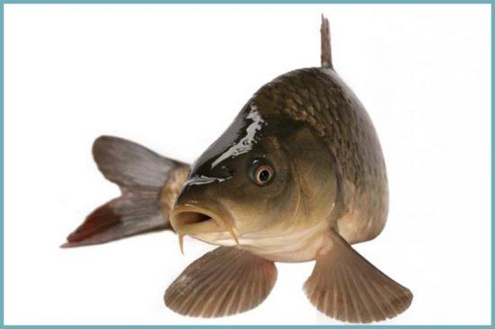 речная рыба приготовление