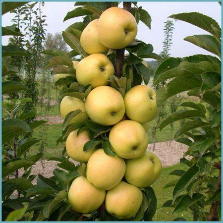 сорта яблонь