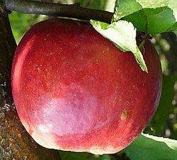 Чем отличаются сорта яблони жигулевское, краса свердловска, хани крисп