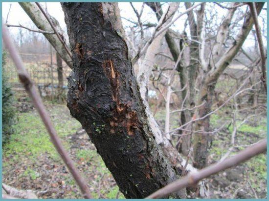 рак коры дерева