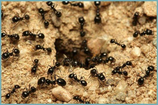 как устранить муравьев