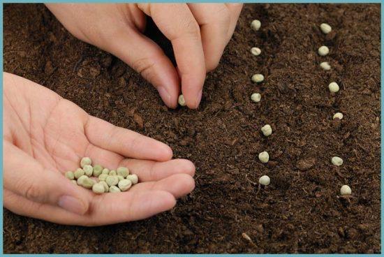 как посадить горох