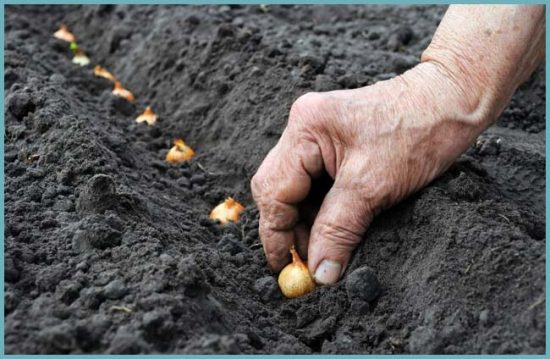 как посадить лук