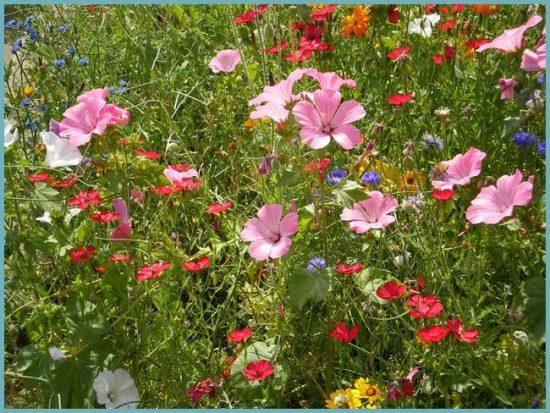 цветы для мавританского газона