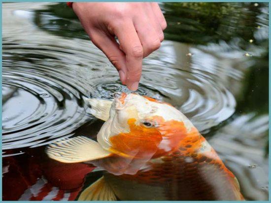 как разводить рыбу