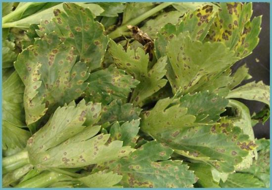 болезни сельдерея