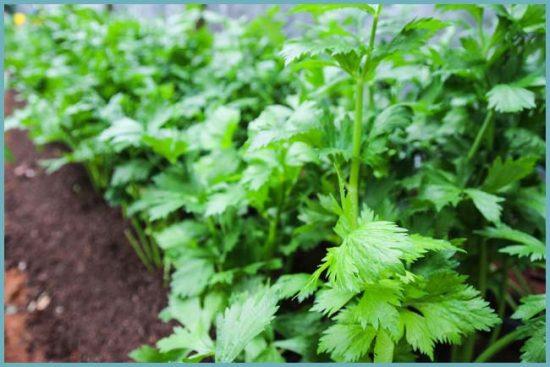 Лучшие сорта сельдерея листового: Захар, Самурай, Картули