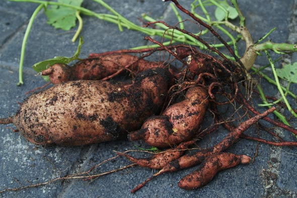 Выращивание батата
