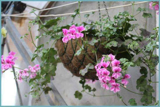 как посадить пеларгонию