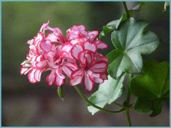 как цветет пеларгония