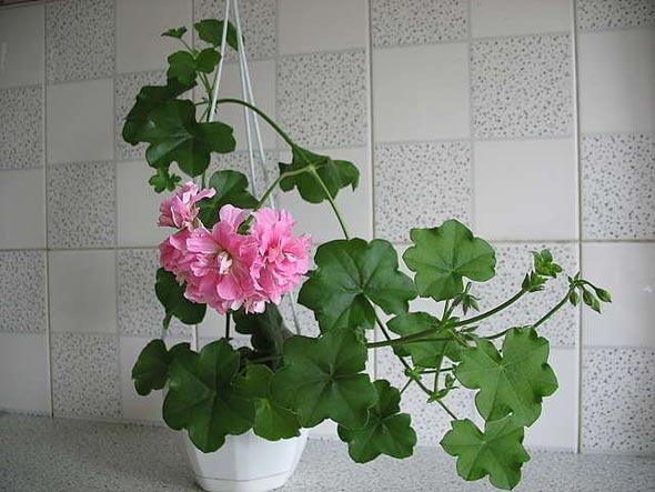 Выращивание пеларгонии
