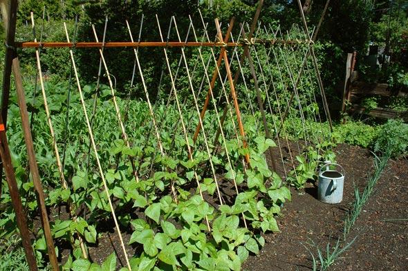 Выращивание спаржевой фасоли