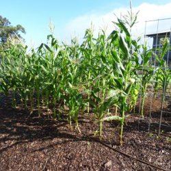 Как посадить кукурузу