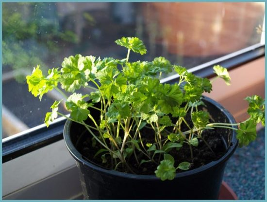 как посадить петрушку