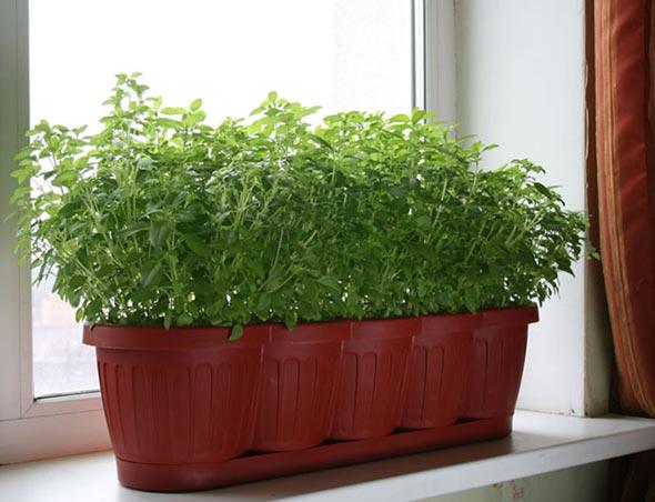 Выращивание петрушки на подоконнике