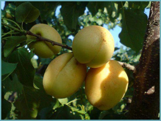 свойства абрикоса ананасного