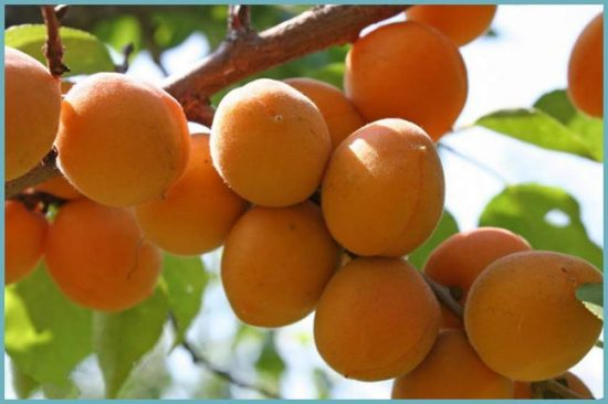 сорта абрикос