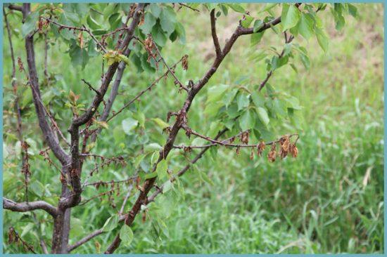 грибковые заболевания абрикоса