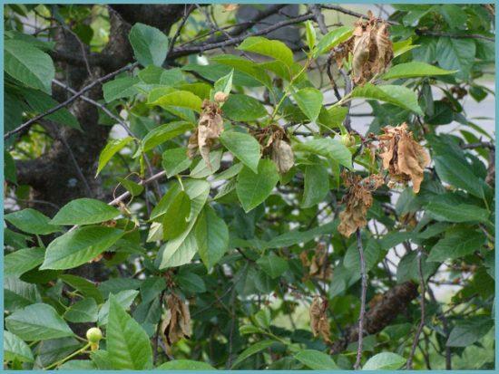 признаки заболевания вишни