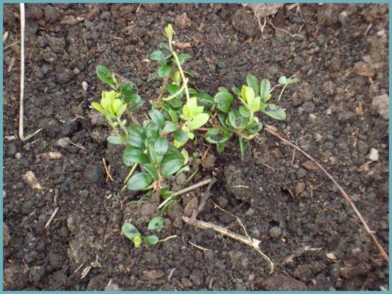 как посадить бруснику