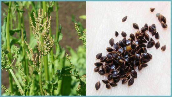 как собрать семена щавеля