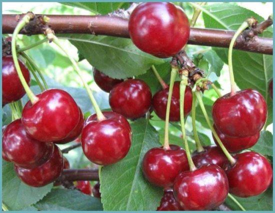 сорта вишни