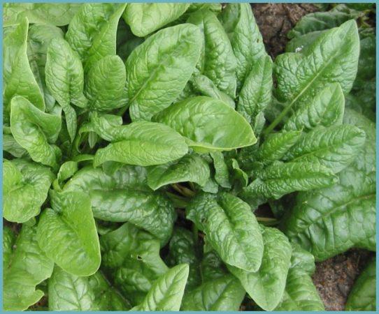 как посадить шпинат
