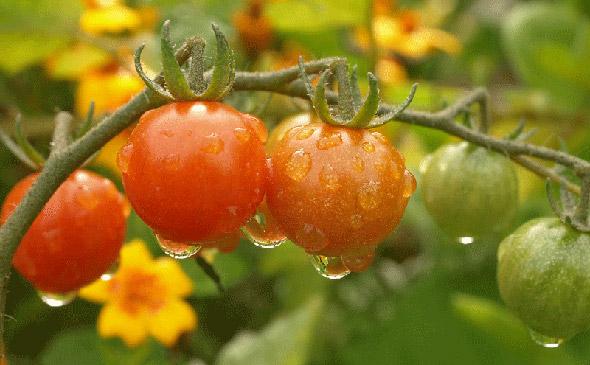 Посадка томатов по лунному календарю