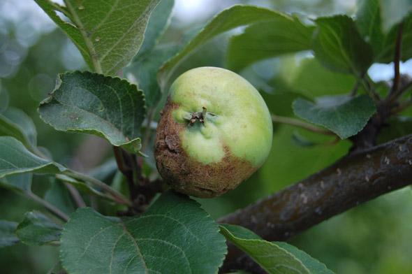 Болезни и вредители яблони
