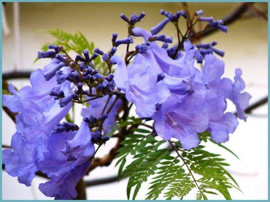 В условиях квартиры фиалковое дерево цветет крайне редко