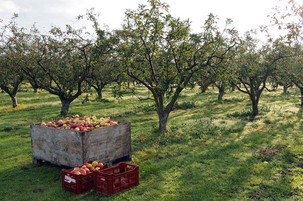 Сорта карликовых яблонь