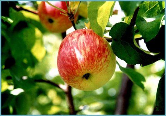 яблоня карликовая