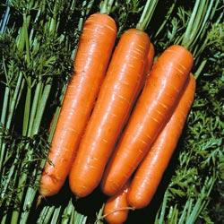 Сорт моркови Лосиноостровская