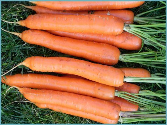 морковь на участке