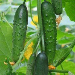 Сорт томатов Емеля F1