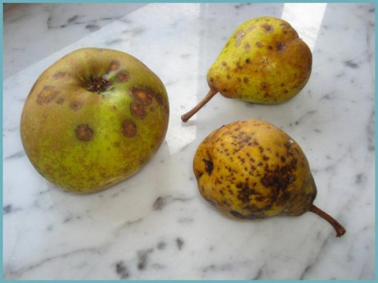 болезни фруктовых деревьев