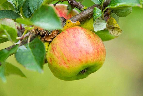 Посадка яблони
