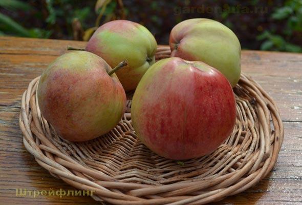 штрифель сорт яблок фото ассортимент выгодные