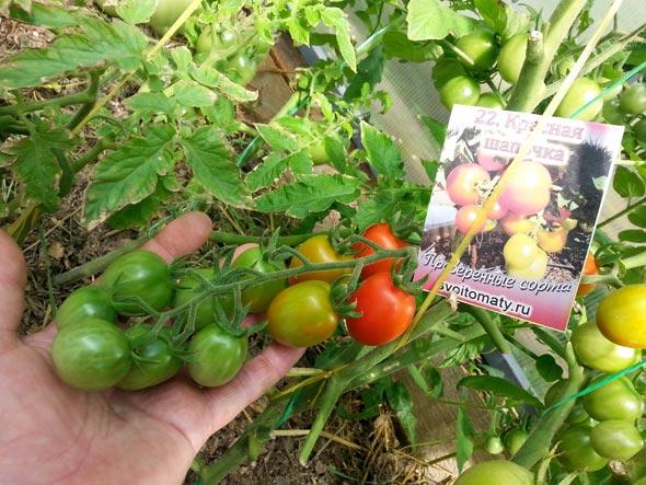 Сорт томата Красная шапочка