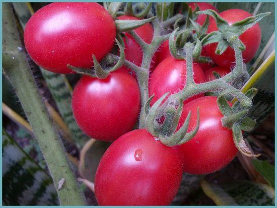 томат в теплице