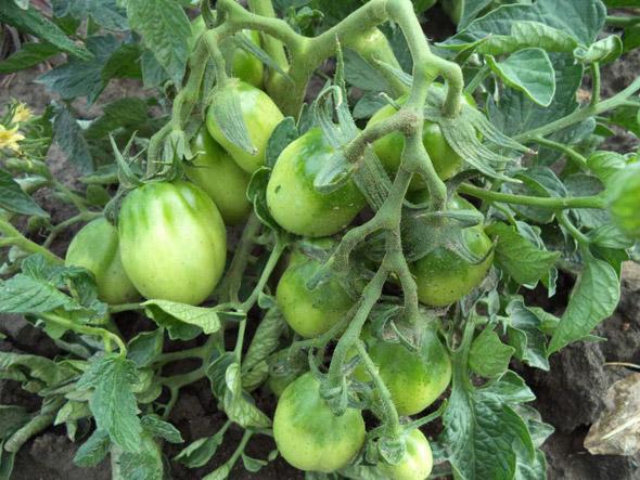 томат петруша огородник фото куста пынзарю резко изменилось