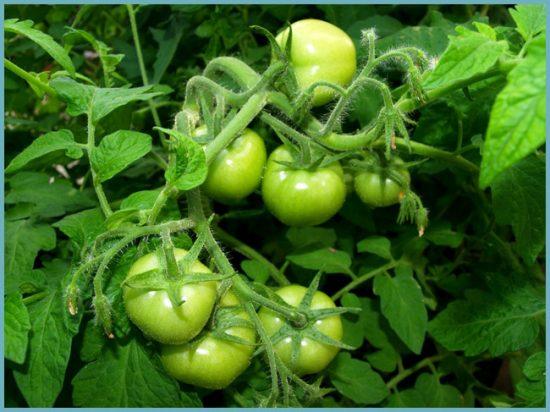 как выращивать томаты саньки