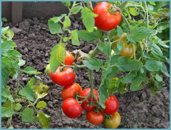 томат в открытом грунте