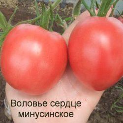 Сорт томатов Воловье сердце
